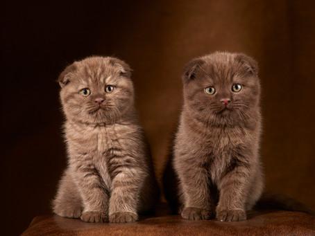 Chatons Scottish Fold couleur chocolat âges de sept semaines