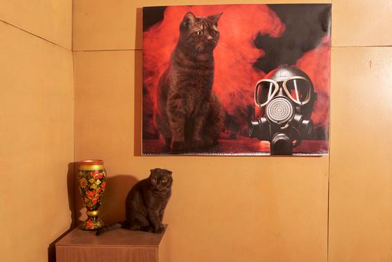 Chat scottish straight chocolat in art gallery