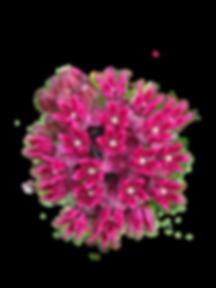 Asclepias purpurascens - transparent.png