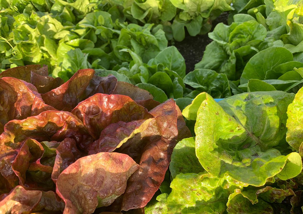Red & Green Bibb Lettuce