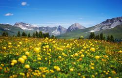Prätschalp_Frühlingsblumen_20150626-05_kitschig