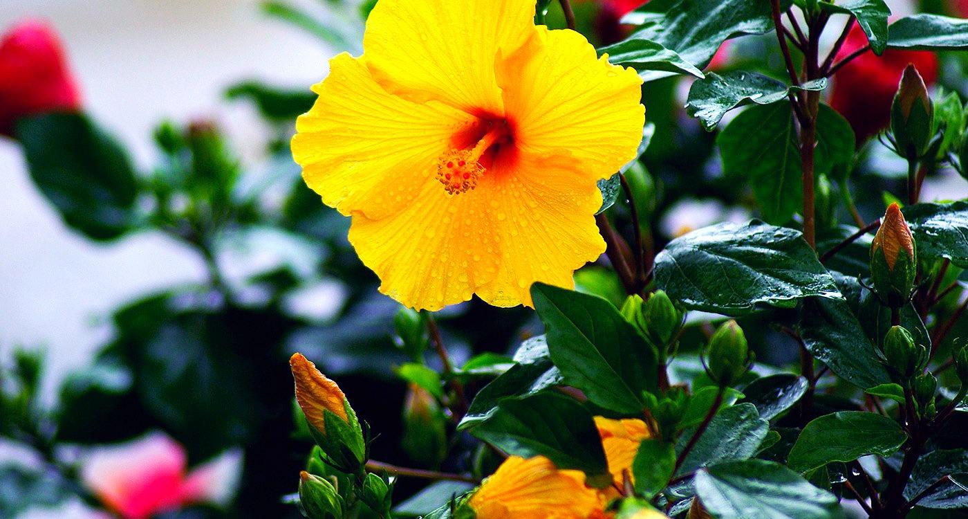 Wellness wisdom hibiscus freelife7le izmirmasajfo