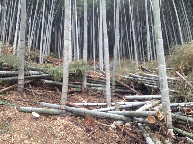 さらに、竹山の竹を伐採中!