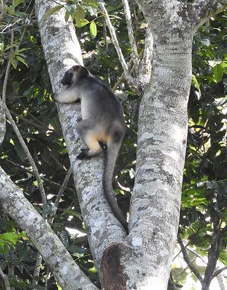 Austratian climbing tree Kangaroo. Queensland Atherton Tablelands.JPG