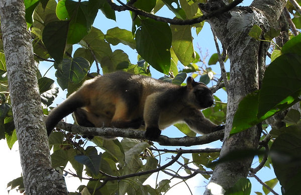 The agile Lumholtz tree kangaroo