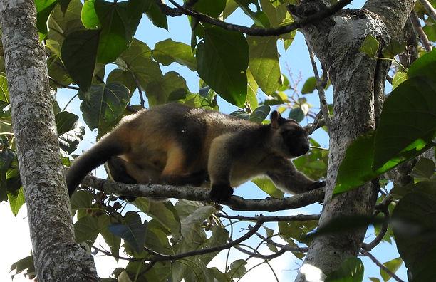 The agile Lumholtz tree kangaroo