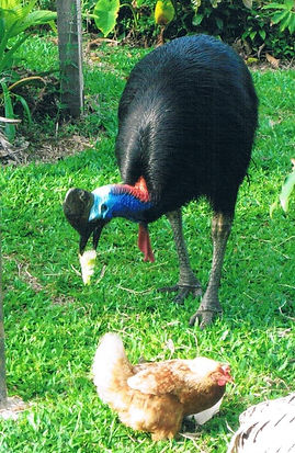 The awesome iconic Cassowary was the ins