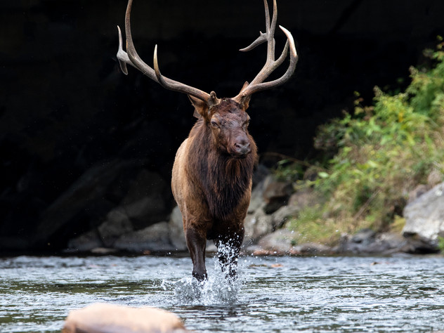The Marching Elk