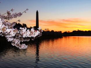 Washington Cherry Sunrise