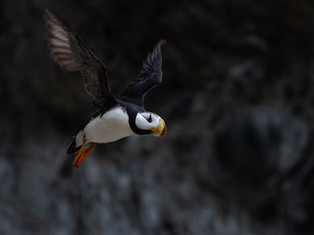 Flight of the Puffin