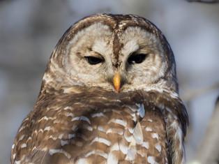 Barred Owl Gaze