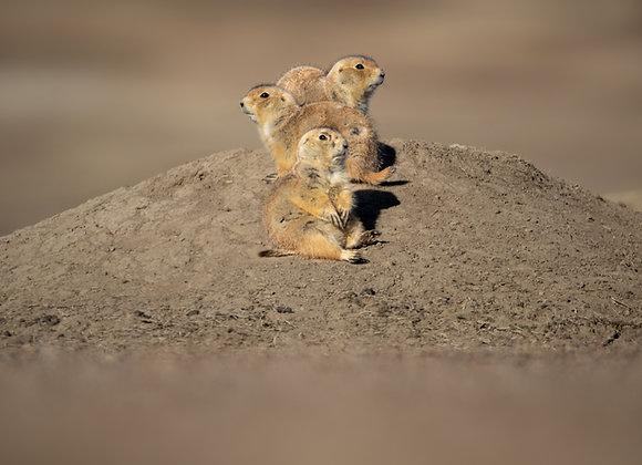 Prairie Pups