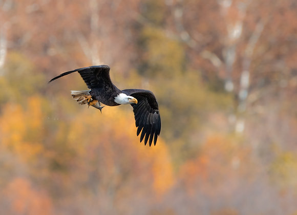 Fall Eagle