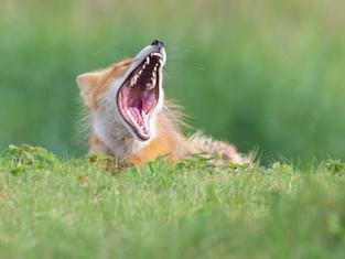 Fox Yawn