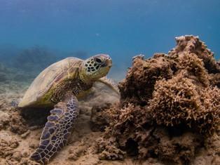 Honu Coral