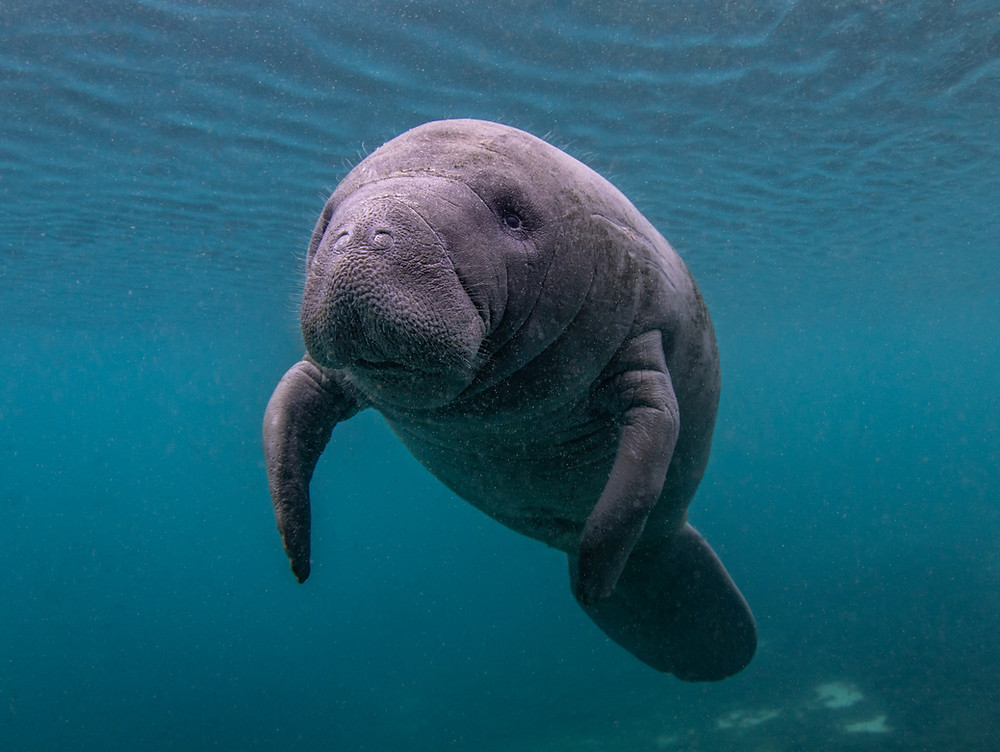 A curious baby manatee coming over to say hello.