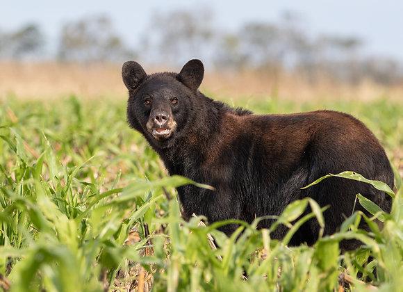 Brown Eyed Bear