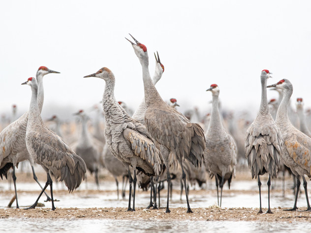 Call of the Cranes.jpg