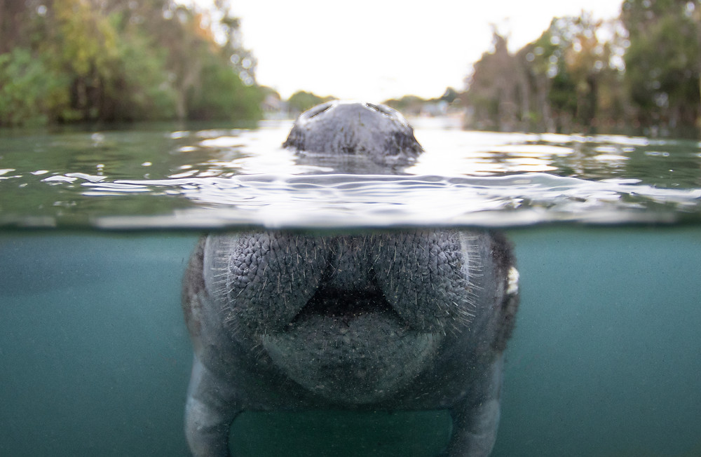 A unique perspective showing how a manatee comes to the surface to breathe.