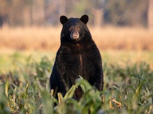 Black Bear Gaze