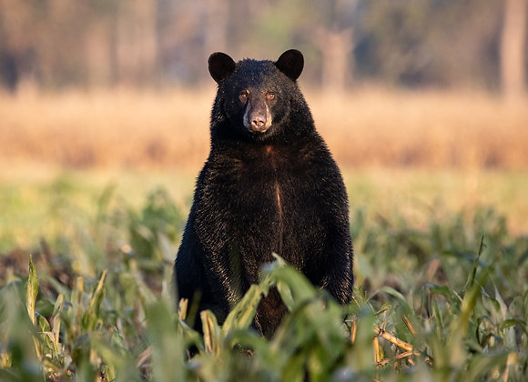 Black Bear Gaze