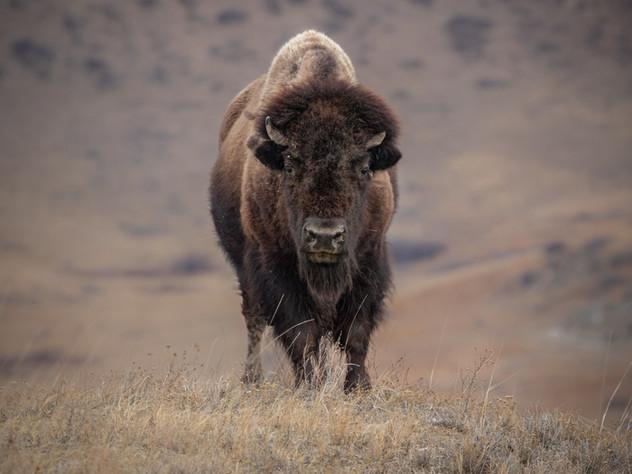 Bison Eyes