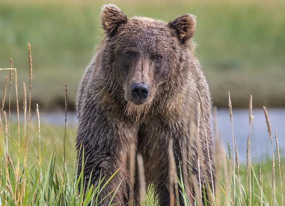 Brown Bear Stare