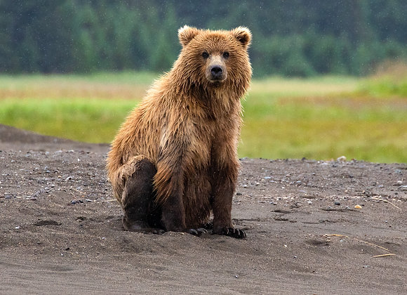 Rainy Bear Days