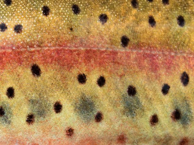 Fish Skin Cutthroat