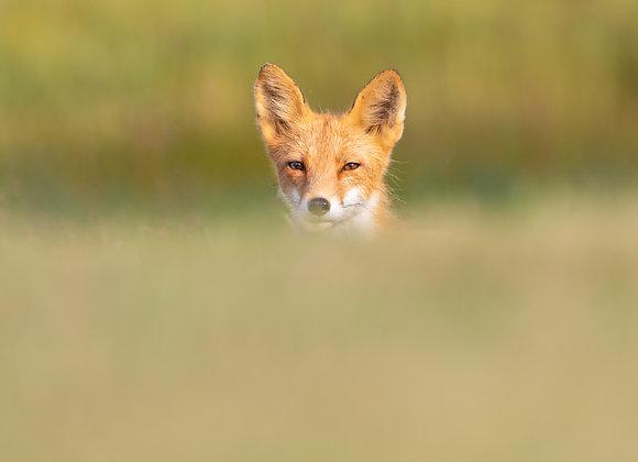 Fox Hill