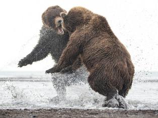 Battle of the Bears