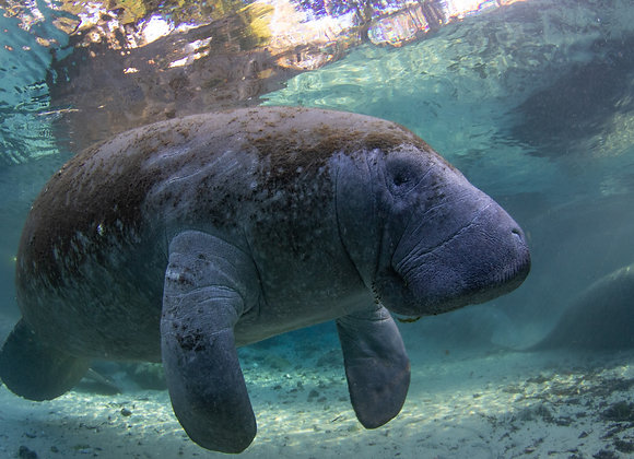 Floating Sea Cow