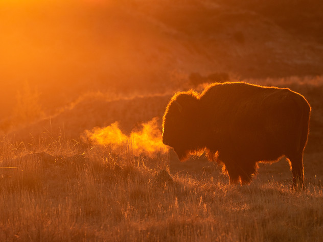 Fire Breathing Bison