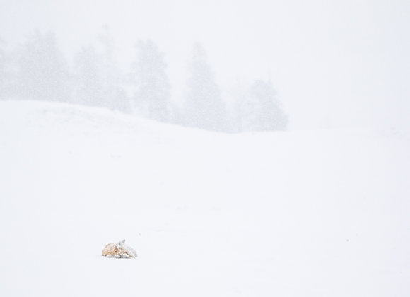 Fox in the Storm