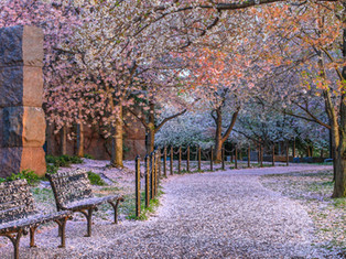 Snowing Blossoms