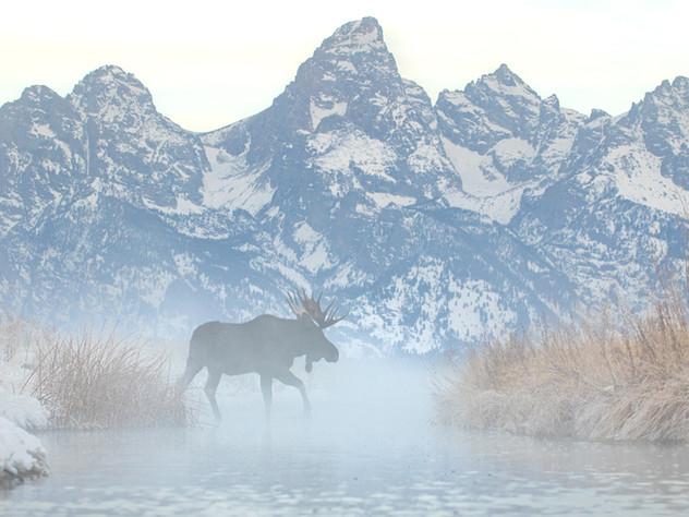 Tetons Moose
