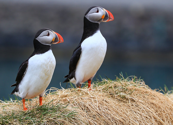 Puffin Friends