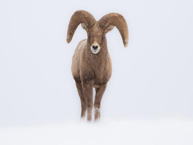 The White Ram