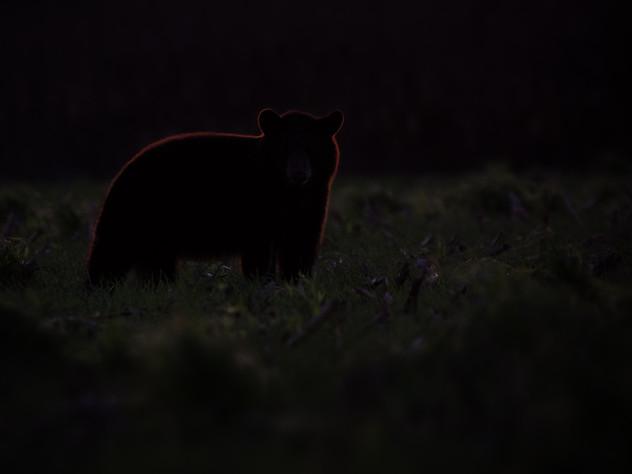 Rim Lit Bear Cub