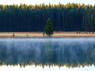 Pine Tree Matches