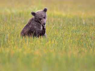 Cub in the Grass