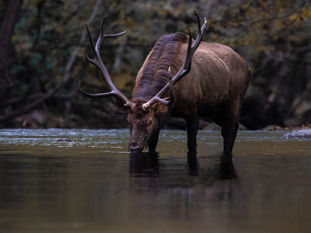 Bull in the Water