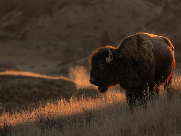 Backlit Bison