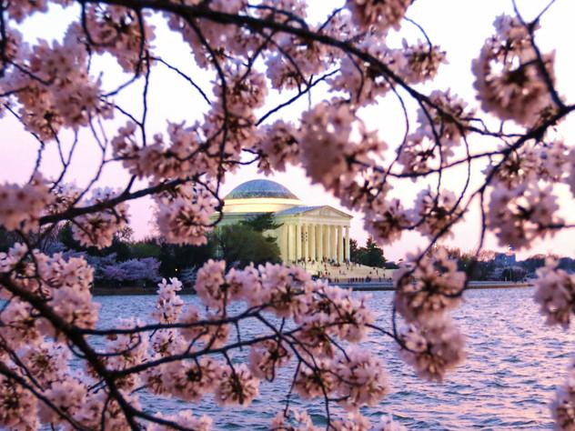 Jefferson Cherry Blossoms