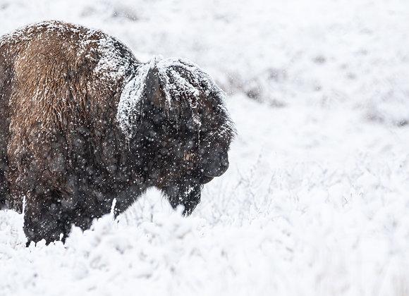 Blizzard Bison