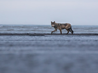 Grey Wolf Fishing