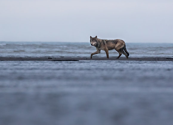 Grey Wolf Fishing