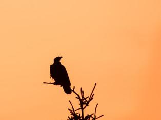 Orange Eagle Pine