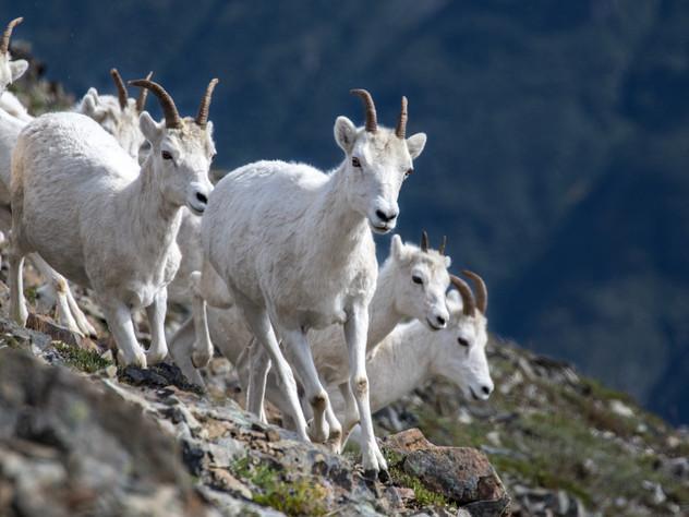 Dall Sheep Ewes
