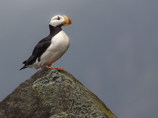 Horned Puffin Rock